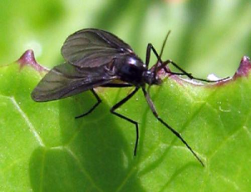 La mosca negra invade España