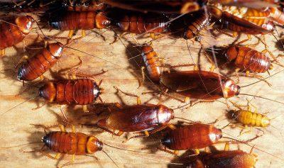 plaga cucarachas
