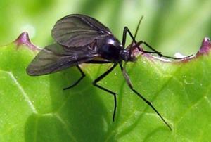 mosca negra
